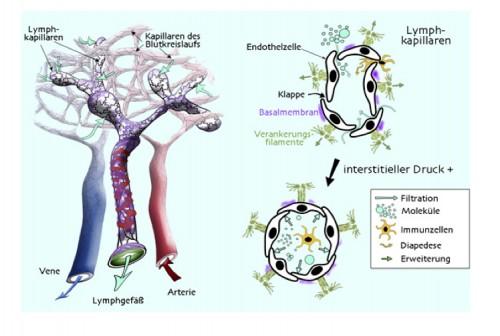 Lymphkapillaren - Aufbau und Funktion | Dermatologie II
