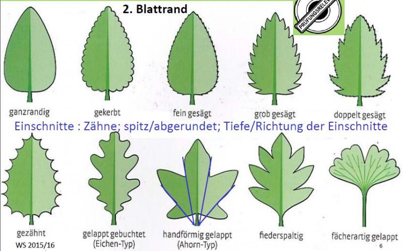 12 welche formen des blattrandes gibt es botanik fragenkatalog. Black Bedroom Furniture Sets. Home Design Ideas