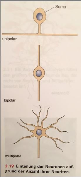 Klassifizierung von Neuronen -Einteilung der Neurone au ...