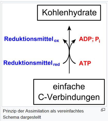 Assimilation Fotosynthese 1