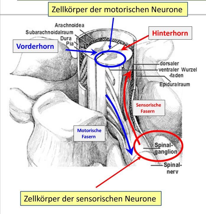 Spinalnerven -->NervenfasernVerlauf, Aufbau, anatomisch... | Oberhauser