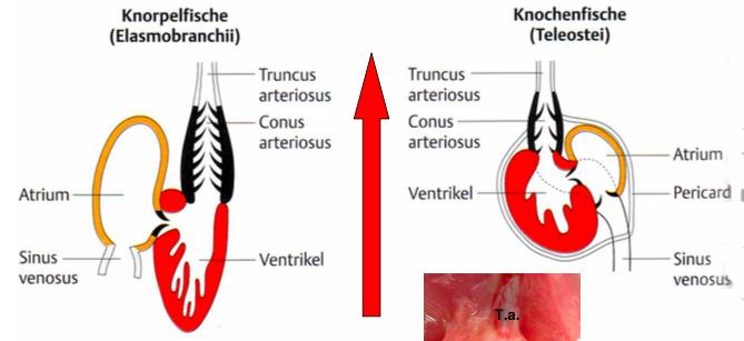 2 Herz bei Fischen (Knorpelfische und Knochenfische) | II. Anatomie ...