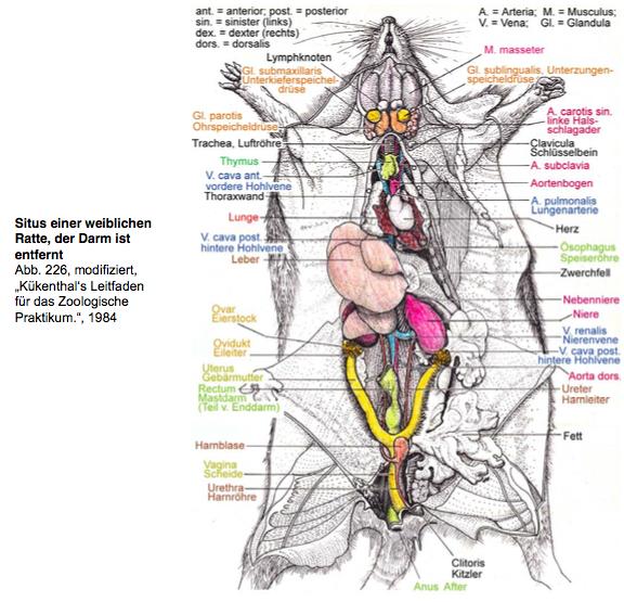 ♢ Situs einer weiblichen Ratte (ohne Darm) | II. Anatomie und ...