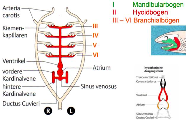 2 Fische - Herz und Arterie | II. Anatomie und Physiologie der Tiere ...