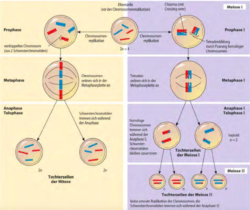 mitose meiose unterschiede