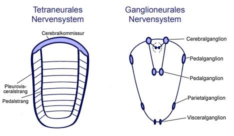 Was ist die ursprüngliche Organisation des Nervensystem ...