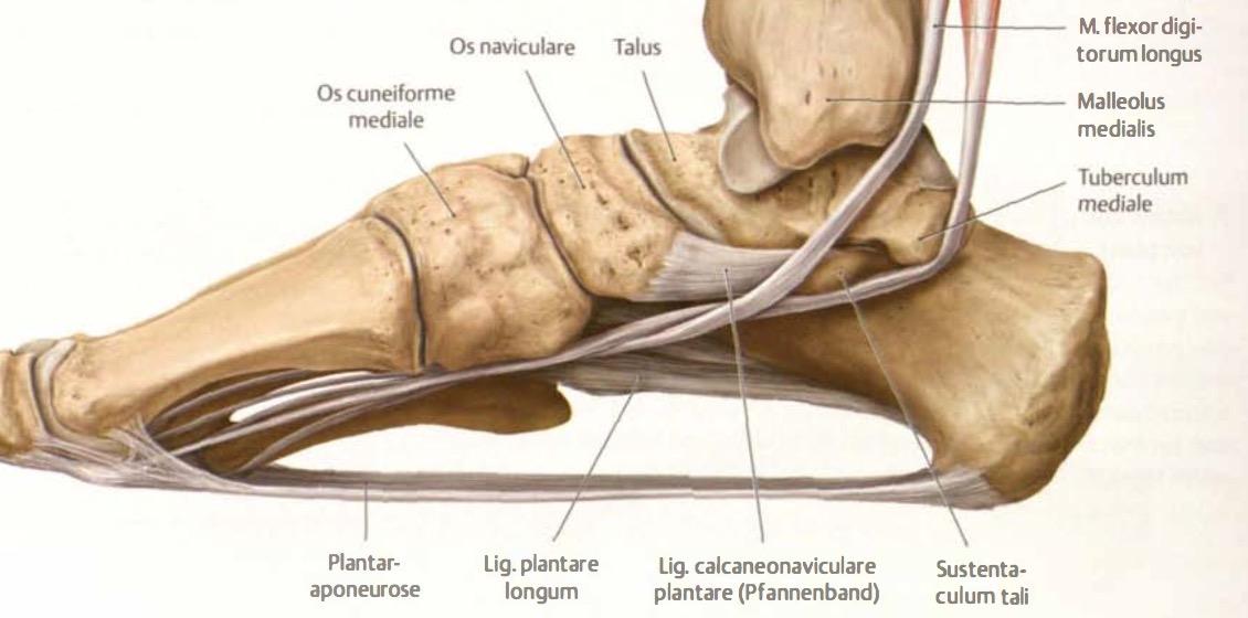 Welche (plantaren) Bänder sichern die Längswölbung? | Anatomie ...