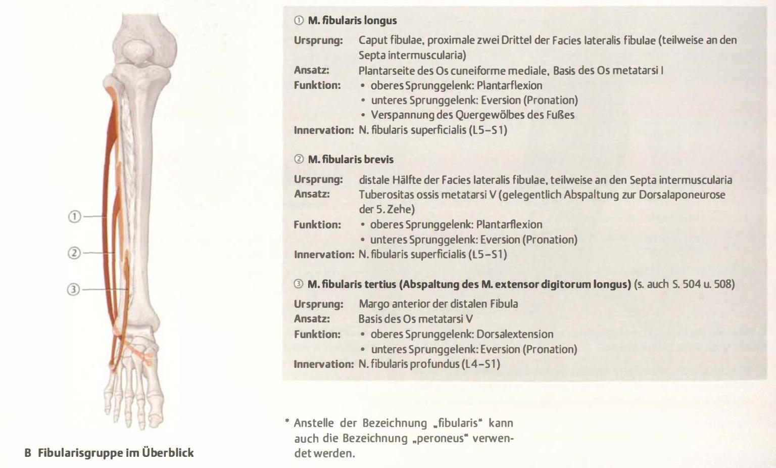 Was ist die Aufgabe der Fibularisgruppe? | Anatomie untere Extremitäten