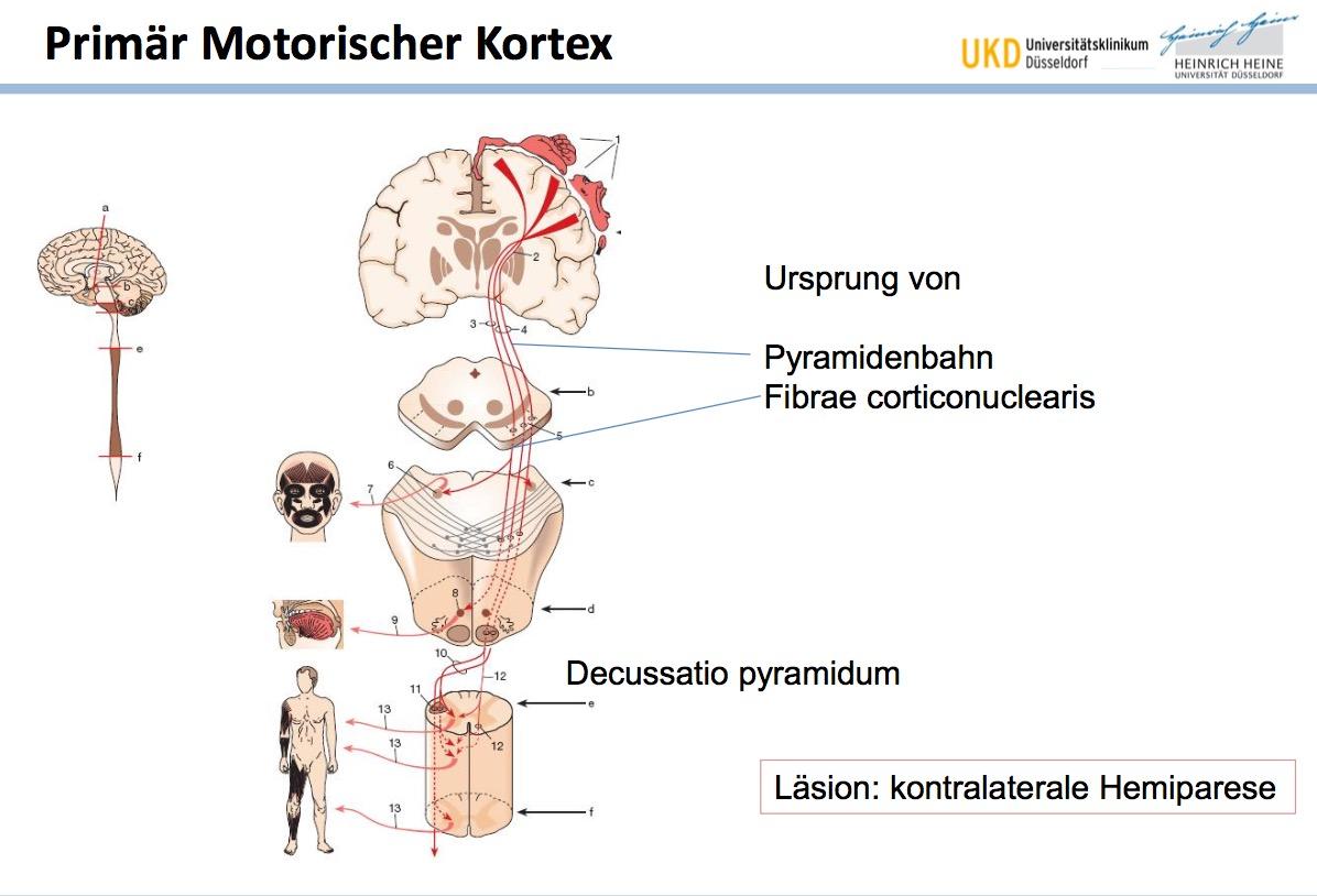 Der primär motorische Kortex ist Ursprung von welchen B ...
