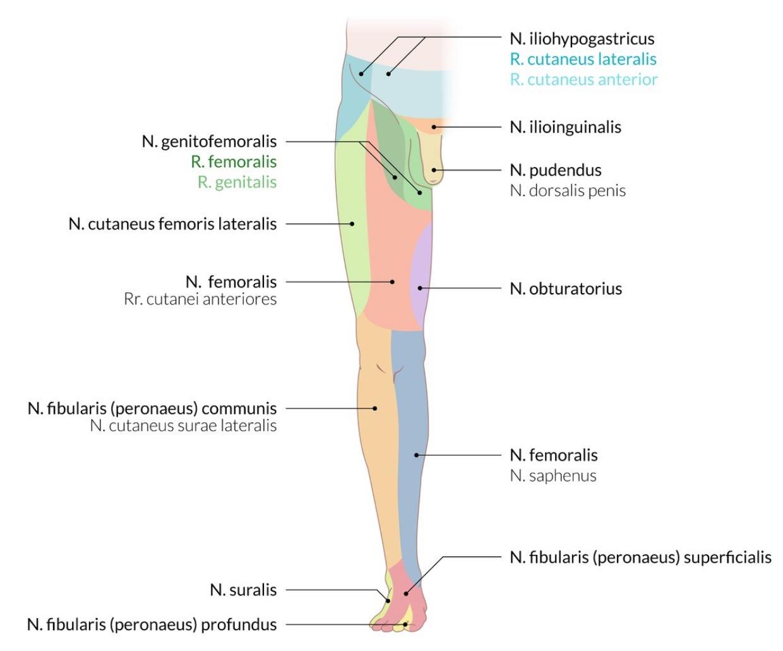 Innervationsfelder der peripheren Beinvenen (vorne) | Anatomie ...