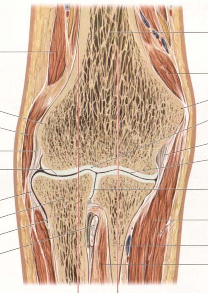 Ellenbogen: Schnitt | Anatomie: obere Extremitäten / Schulter