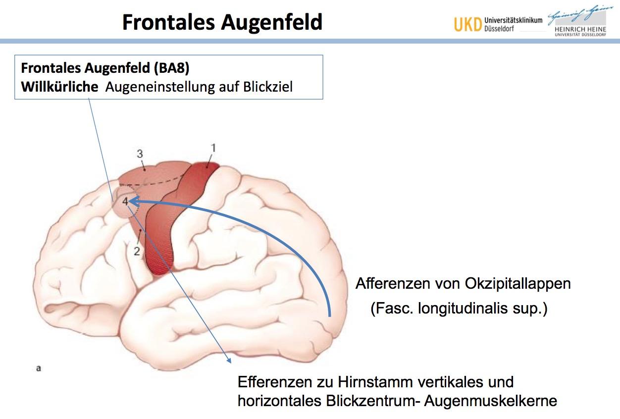 Wo liegt das Frontale Augenfeld? (BA?)FunktionAfferenzen ...