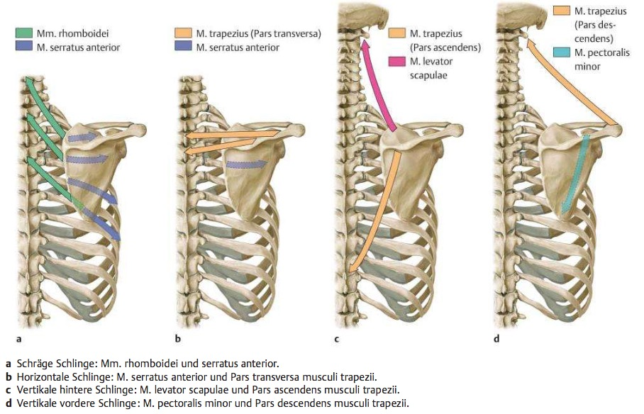Welche Muskeln sind an den 4 Schulterschlingen beteiligt ...