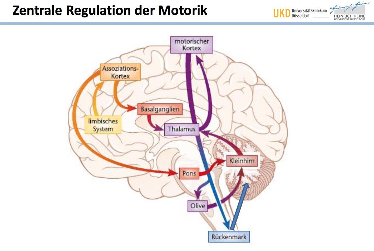 Zentrale Regulation der Motorik Welche wichtigen Struktu ...