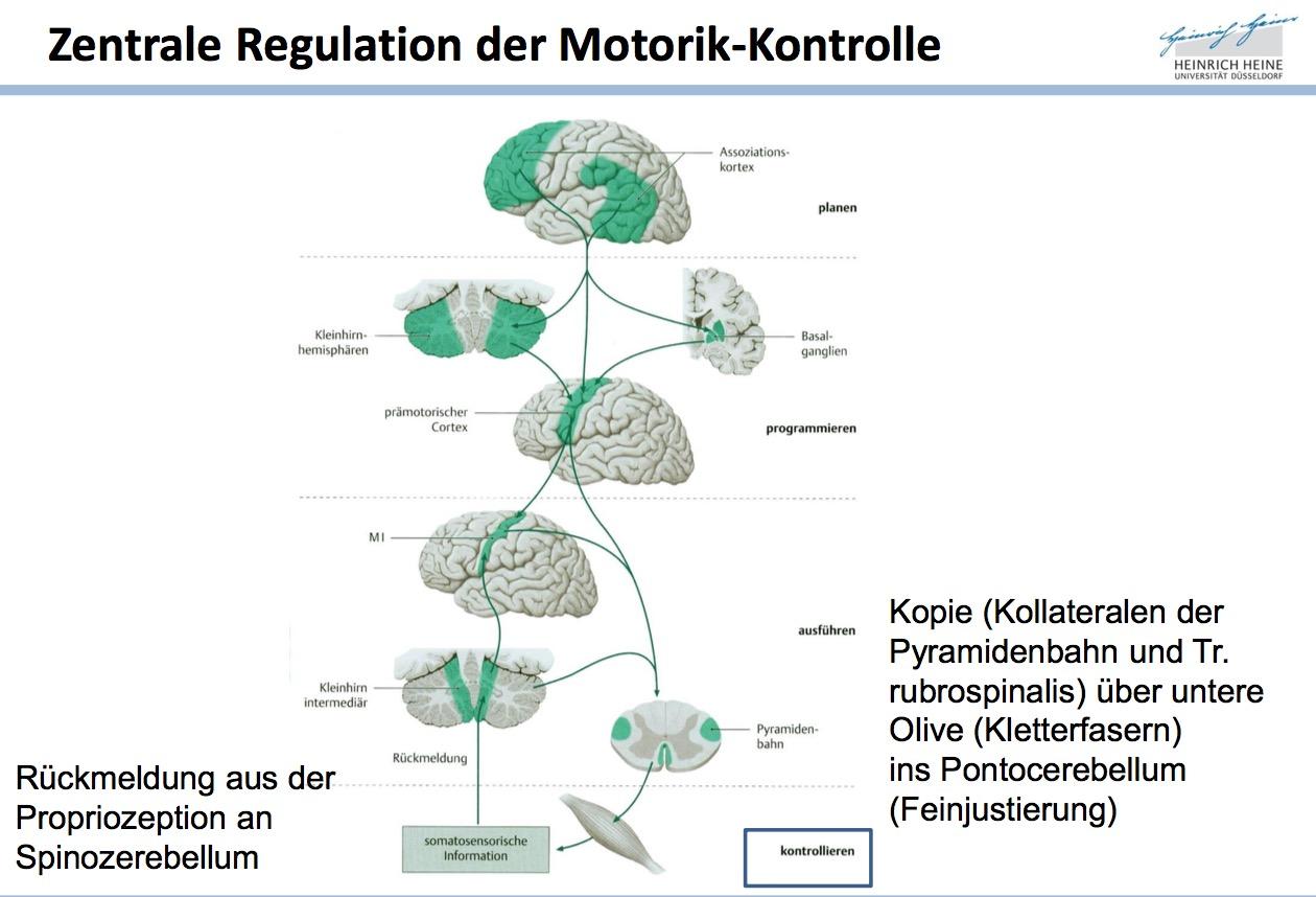 Schritt 4: KontrolleBeteiligte Strukturen | Neuroanatomie ...