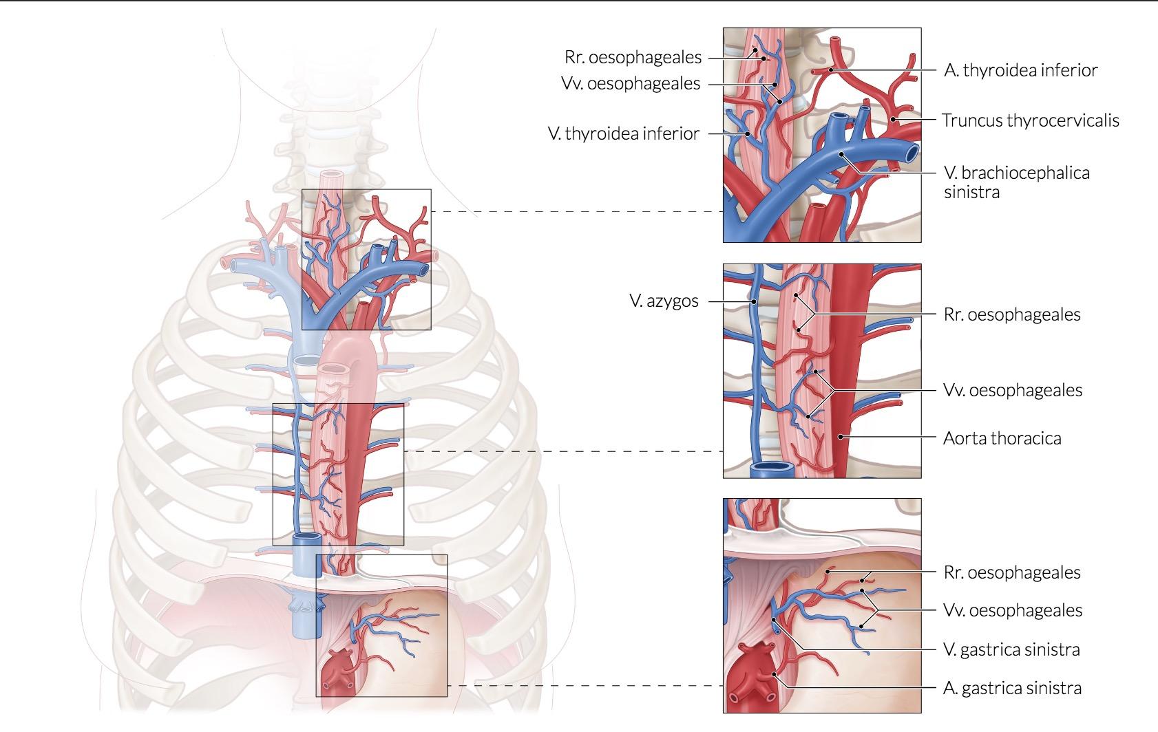 Anastomose über die Oesophagusvene | Anatomie: Rumpf / Thorax