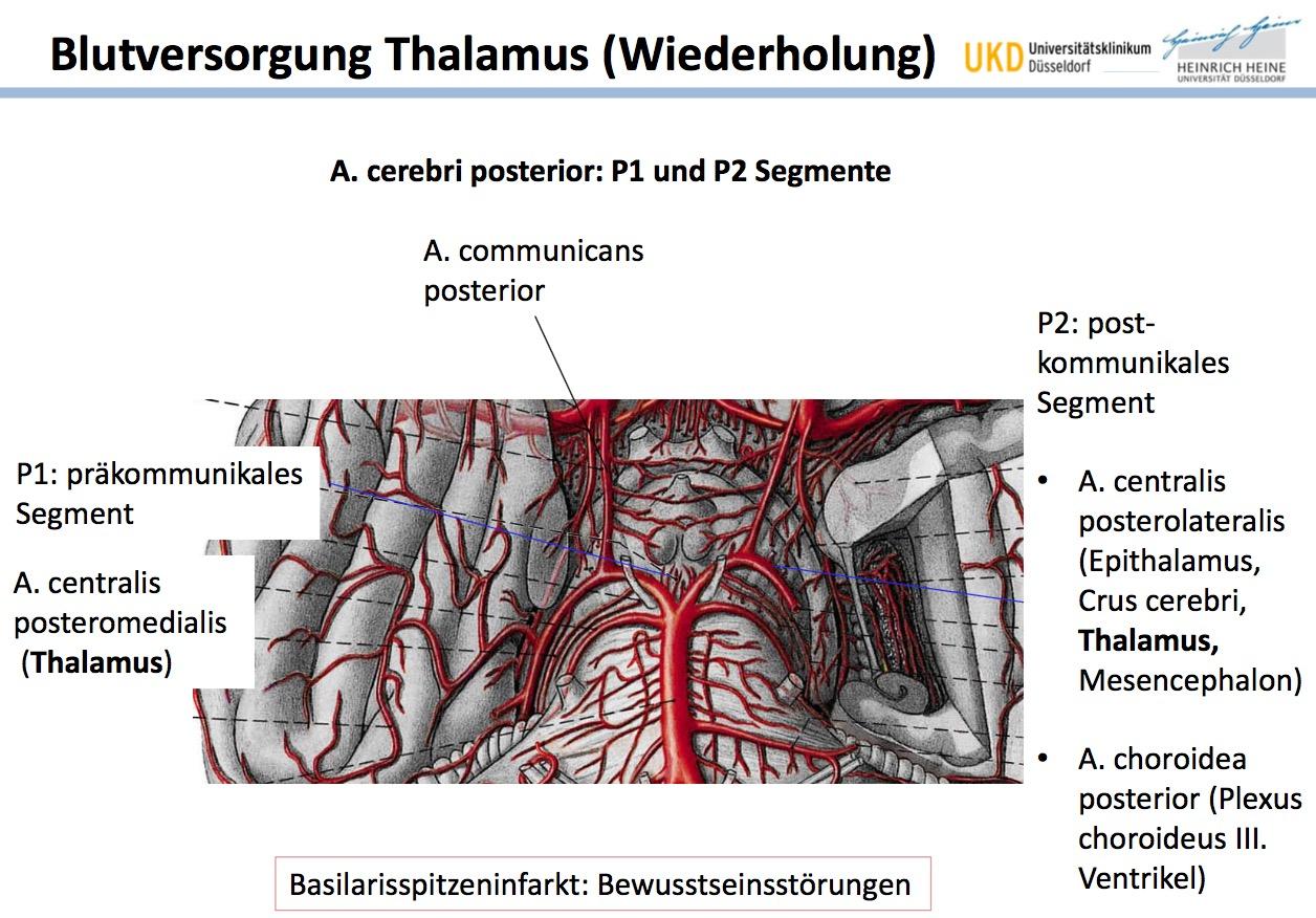 Blutversorgung Thalamus | Neuroanatomie: Thalamus