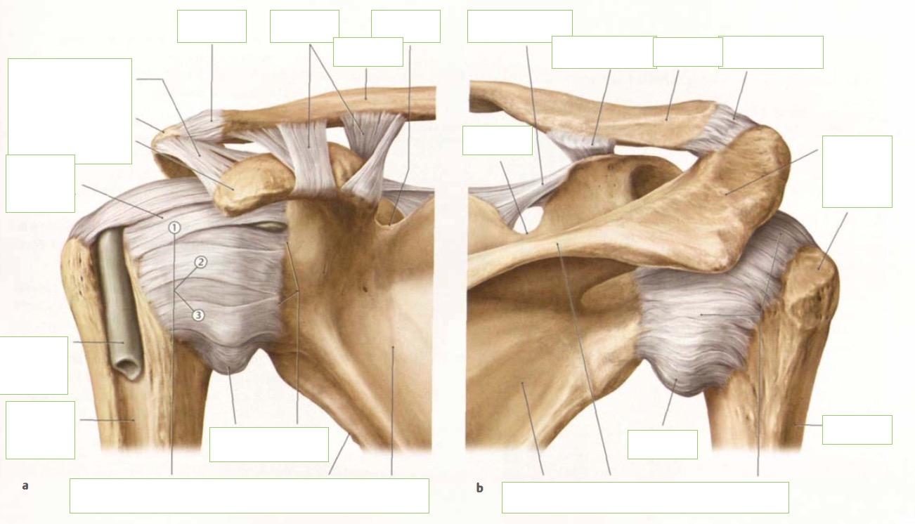 Bandapparat Schultergelenk   Anatomie: obere Extremitäten / Schulter