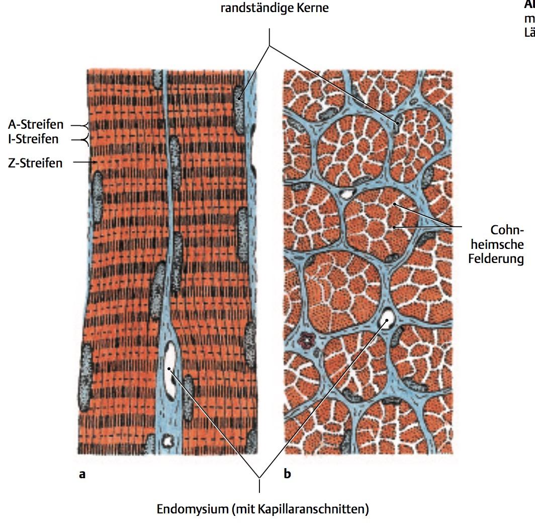 Was ist die Cohnheimsche Felderung? | Histo Muskelgewebe