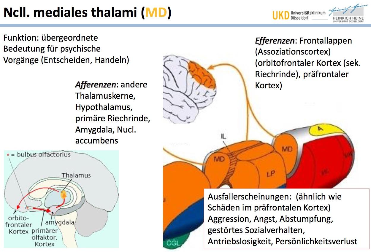 Ncll. mediales thalami (MD)FunktionAfferenzen Tipp: spie ...