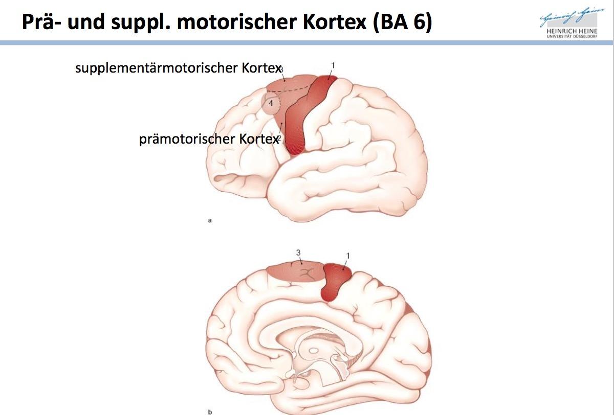 Prä- und suppl. motorischer Kortex Welches BA?Wo liege ...
