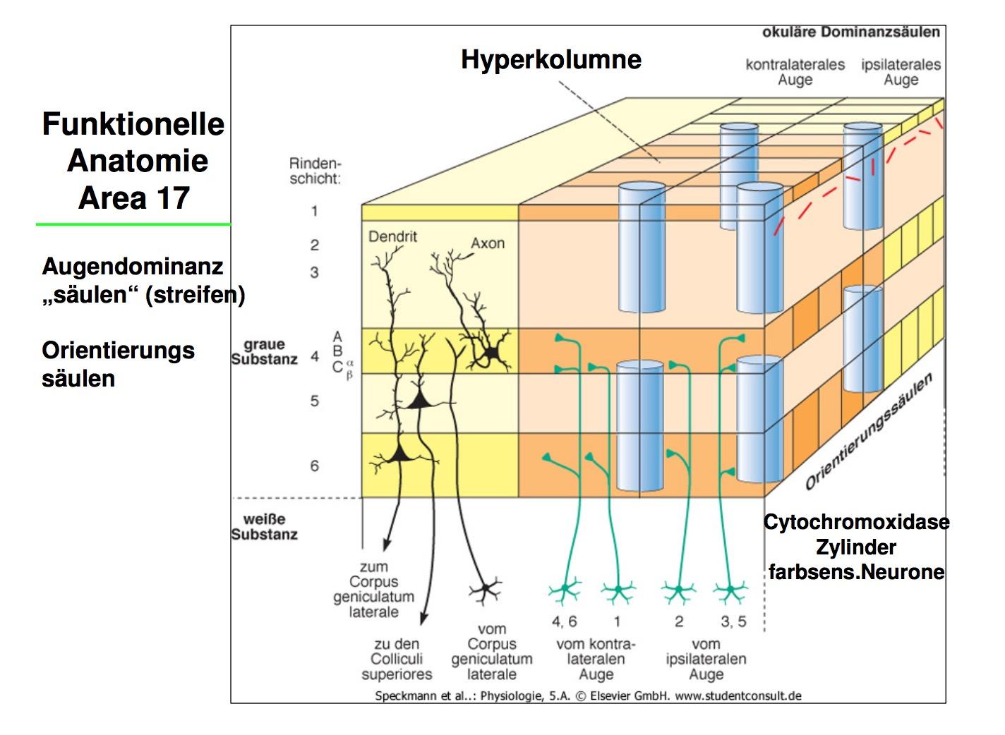 Funktionelle Anatomie Area 17AugendominanzsäulenOrienti ...