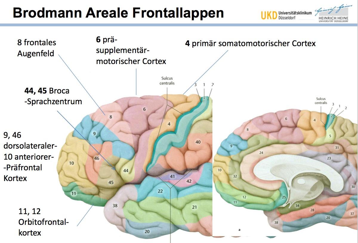 Brodmann Areale FrontallappenPrimär somatomotorischer C ...