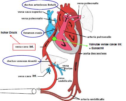 Übersicht Ducti | HKL Anatomie