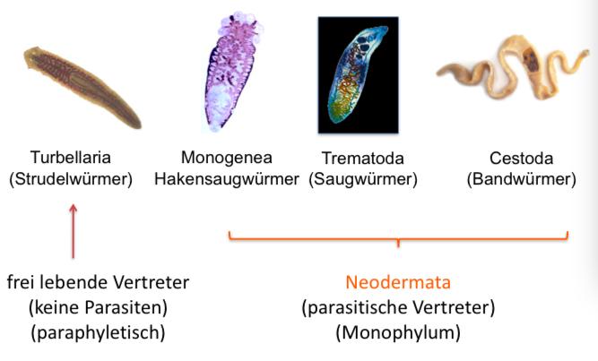 Cestodes paraziták